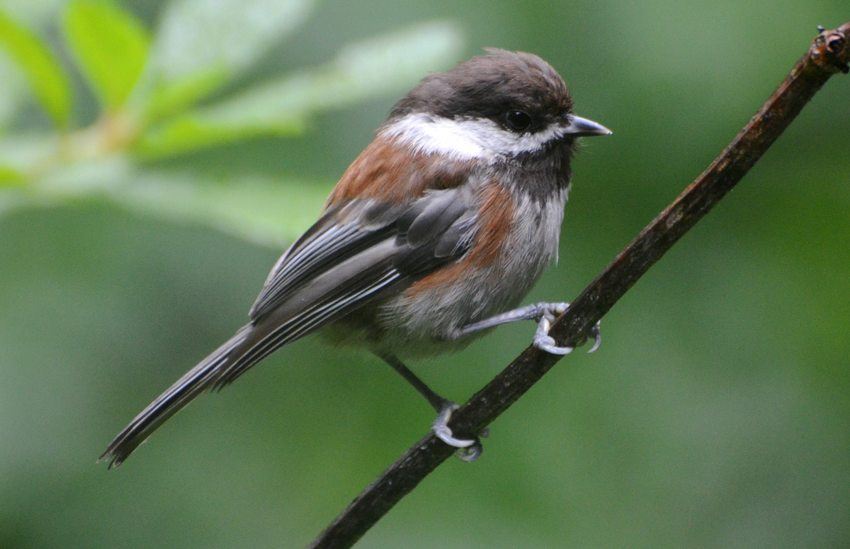 Chesnut-Backed Chickadee standing on a thin branch.