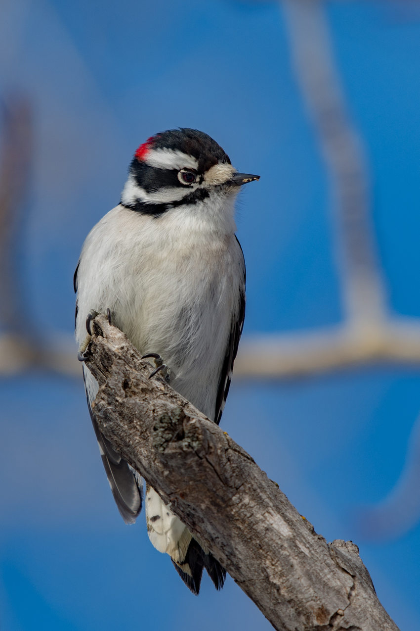 Downy Woodpecker on the end of a branch.