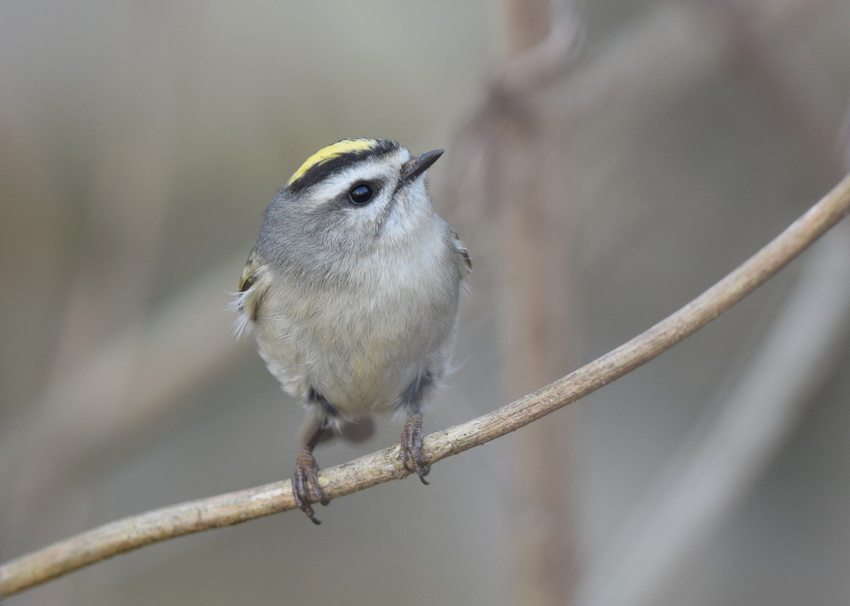 Golden-Crowned Kinglet perched on thin branch.