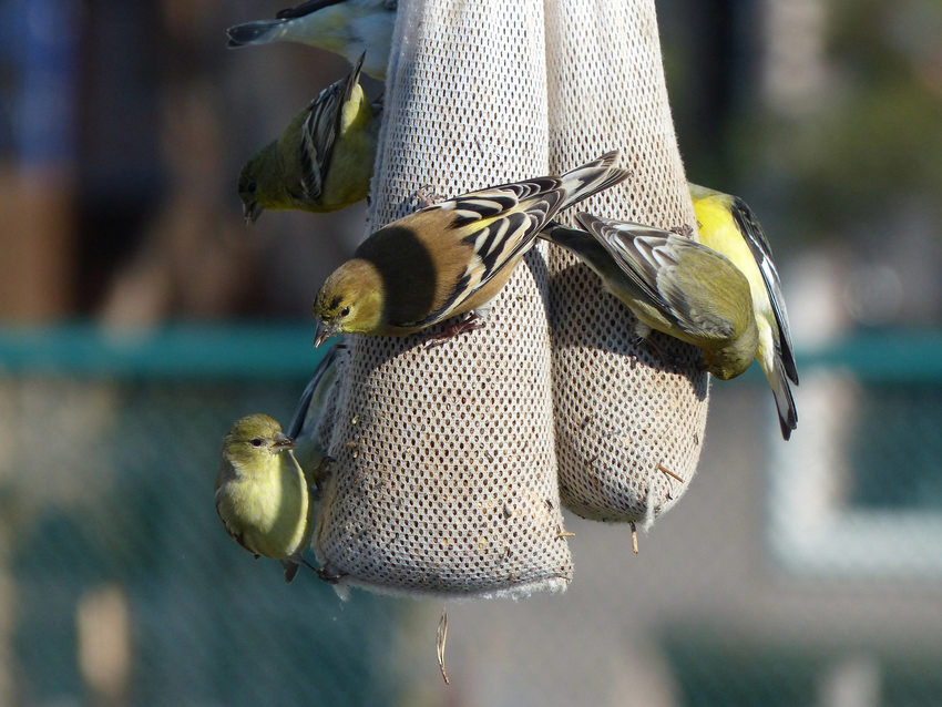 Lesser goldfinches feeding on hanging feeder.