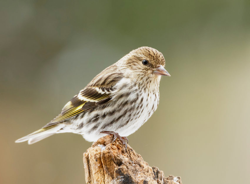 Pine Siskin standing on stump.