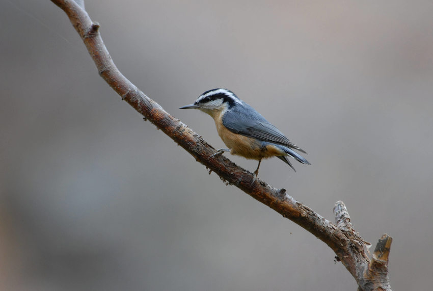 Red-Breasted Nuthatch resting on branch.