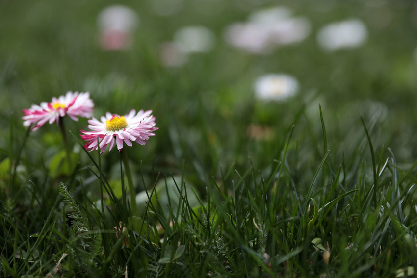 closeup view of a water-wise lawn with blooming daisies