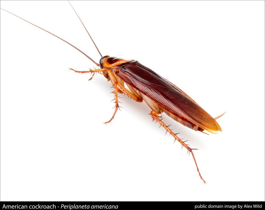 closeup of an American cockroach