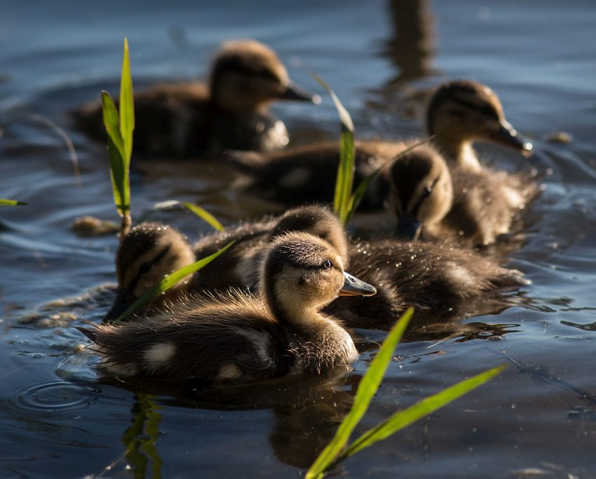 Ducklings at Blue Lake