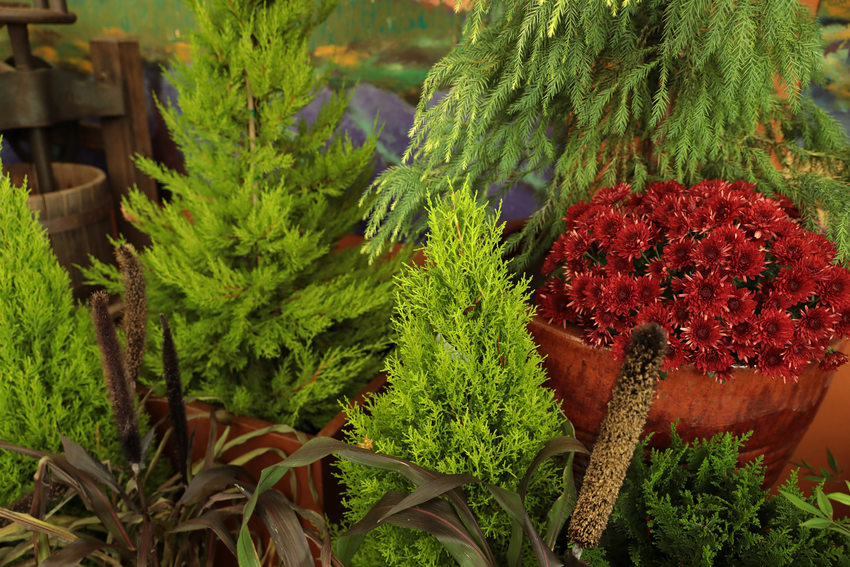 A close up of a variety of small evergreens