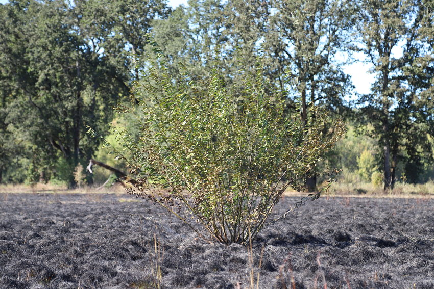 photo of shrub that survived prescribed burn at Quamash Prairie