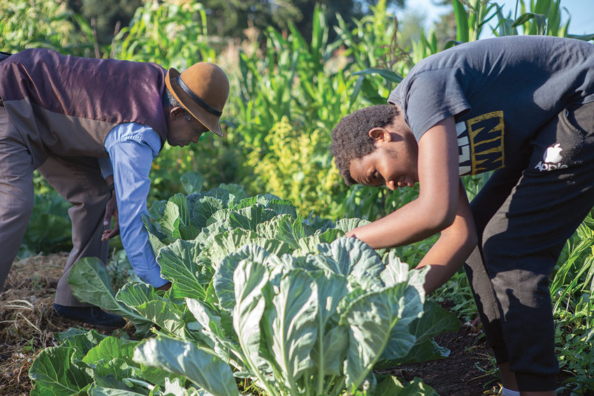 Two Black men tend to cabbages in their garden.