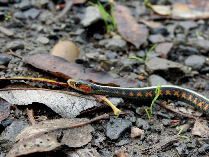 A thin snake with a red face, black body, red markings and a white back strip slithers over fallen leaves.