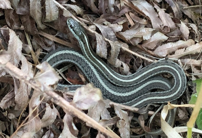 A bluish snake with a light stripe on its back slithers over dead leaves.