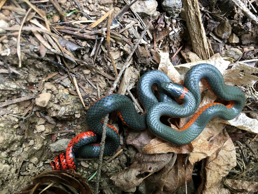 A bluish snake with a red belly and red stripe around its neck coils on dead leaves.