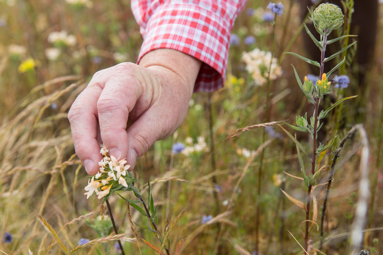 A hand touching a collomia wildflower