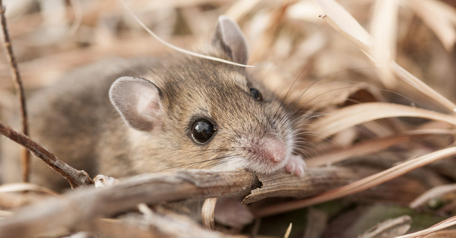 Deer mouse rustling through dead plant matter.