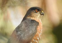 photo of sharp-shinned hawk by Tom Myers