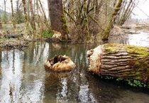 photo of large tree taken down by beavers at Richardson Creek