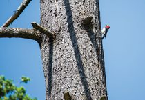 photo of red-breasted sapsucker at Graham Oaks Nature Park