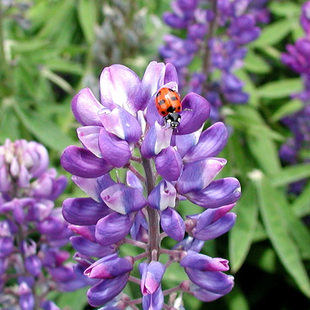 photo of a ladybug on a purple flower