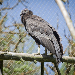 photo of a California condor at the Oregon Zoo