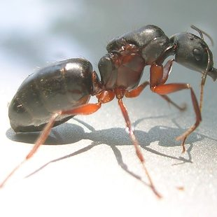 photo of a black ant