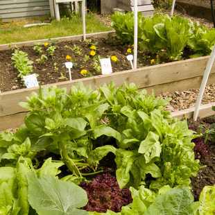 photo of lettuce in raised garden beds