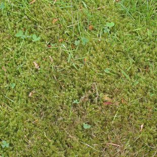 photo of lawn moss up close