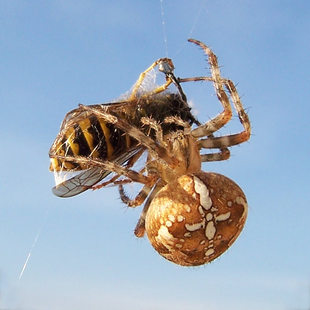 photo of a spider eating a bee
