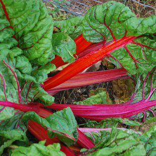 close-up of Swiss chard growig in garden