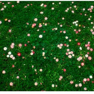 photo of flower mix lawn alternative