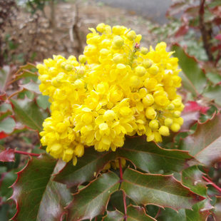 photo of yellow Oregon grape in the Cooper Mountain demonstration garden