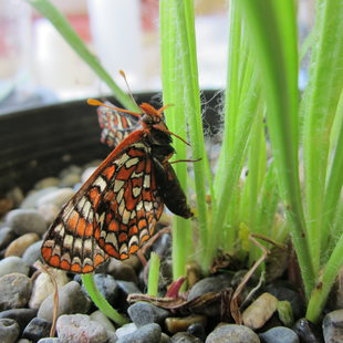 Taylors checkerspot butterfly