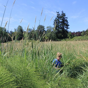 photo of reed canarygrass