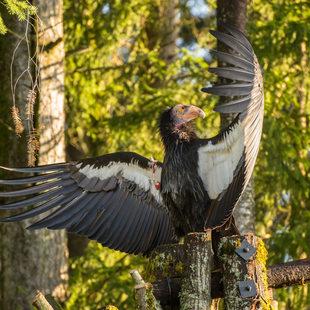 California condor Kaweah