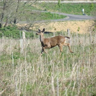 photo of black-tailed deer at West Bliss Butte