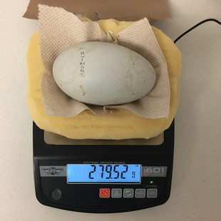 A California condor egg