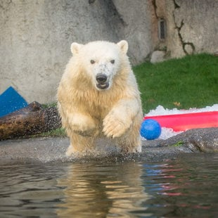 Nora the polar bear dives into her pool at the Oregon Zoo