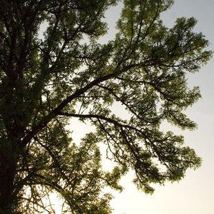 Gotter Prairie sunset behind a tree
