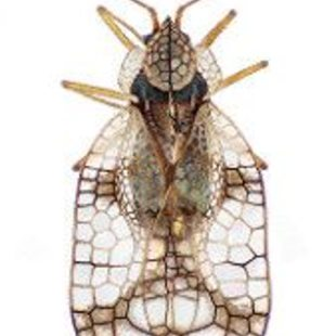 Azalea lace bug illustration