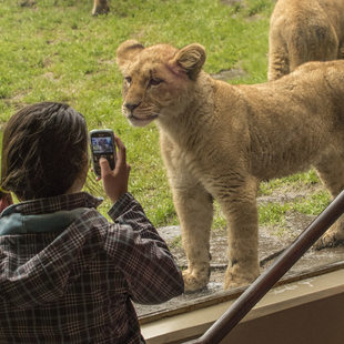 photo of kid at the Oregon Zoo with a lion cub