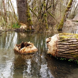 photo of large tree taken down by beavers at Richardson Creek