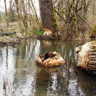 photo of large tree that beaver chewed through at Richardson Creek Natural Area