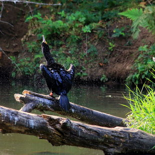 photo of cormorant and blue heron at Kelly Creek Pond