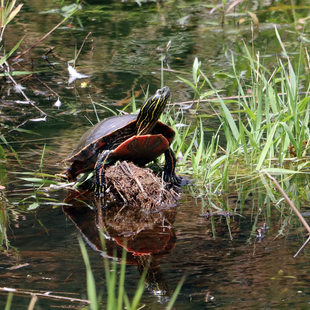 photo of turtle at Grant Butte Wetlands