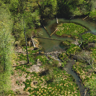 A creek makes an oxbow behind a beaver dam. The whole area is green and forested.