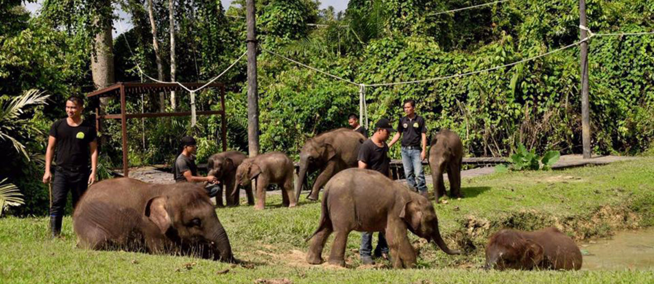 Elephants in Sabah