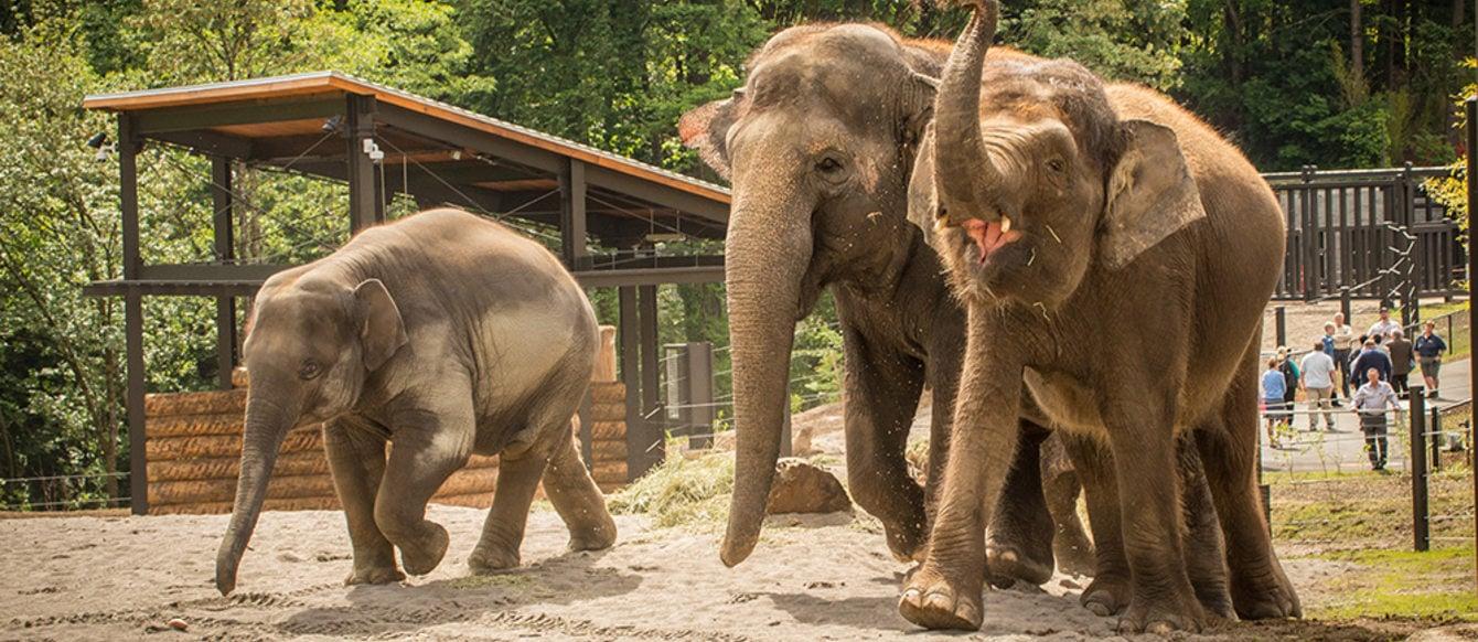Elephants at the Oregon Zoo enjoy the new exhibit