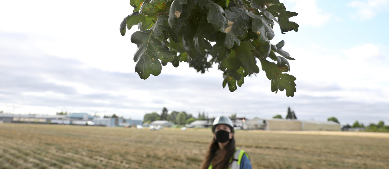 Metro employee in a hard hat  stands in a large open field and gazes up at a lone oak tree