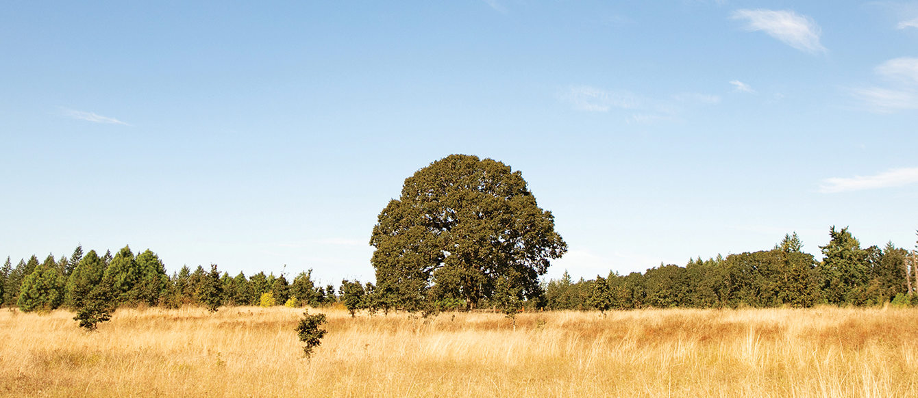 A large tree with a full canopy sits in a field of dry grass and other plants.