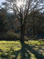 photo of an oak at Canemah Bluff
