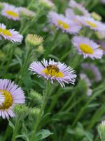 photo of asters and a bee at Blue Lake Regional Park
