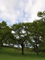 a photo of a group of lush green white oak savanna